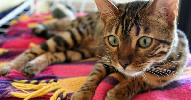 how-much-does-a-bengal-cat-cost