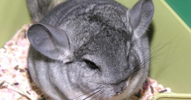 how-much-does-a-chinchilla-cost