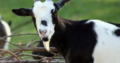 how-much-does-a-goat-cost