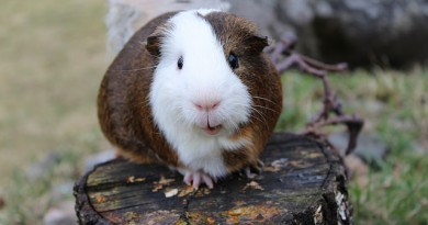 how-much-does-a-guinea-pig-cost