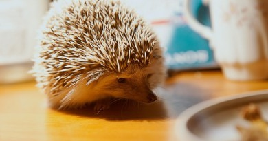 how-much-does-a-hedgehog-cost