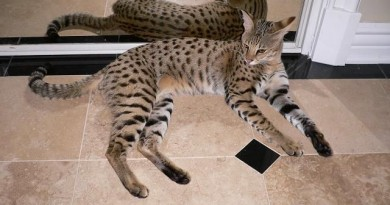 how-much-does-a-savannah-cat-cost