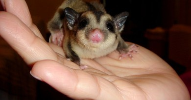 how-much-does-a-sugar-glider-cost